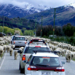 new-zealand-driving-condition-sheep-driver